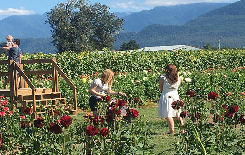 Sunflower festival Vancouver @Globalduniya
