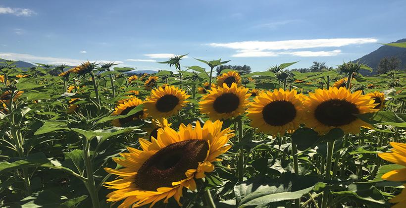 Vancouver sunflower festival @GOBALDUNIYA